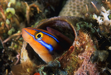 Blue-striped Blenny (Plagiotremus rhinorhynchos), Great Barrier Reef, Australia
