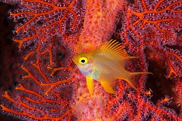 Golden Damselfish (Amblyglyphidodon aureus) in coral, Great Barrier Reef, Australia