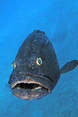 Saddletail Grouper (Epinephelus daemelii), Middleton Reef, New South Wales, Australia