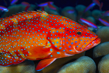 Coral Grouper (Cephalopholis miniata), Christmas Island, Australia