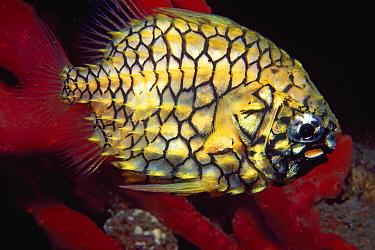 Pineapple Fish (Cleidopus gloriamaris), Nelson Bay, New South Wales, Australia