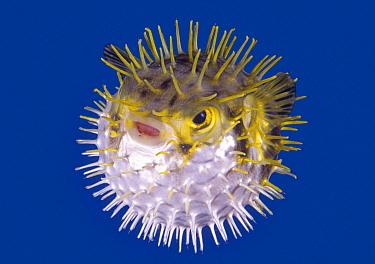Porcupinefish (Diodon nicthemerus) in defensive posture, Port Phillip Bay, Mornington Peninsula, Victoria, Australia