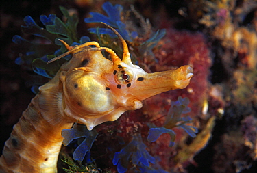 Big-bellied Seahorse (Hippocampus abdominalis), Port Phillip Bay, Mornington Peninsula, Victoria, Australia