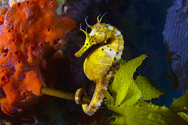 Big-bellied Seahorse (Hippocampus abdominalis), Mornington Peninsula, Victoria, Australia