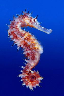 Thorny Seahorse (Hippocampus histrix), Great Barrier Reef, Australia