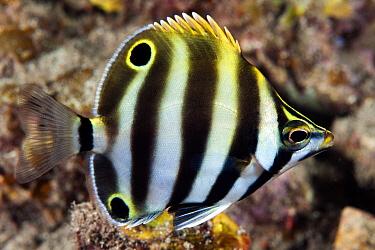 Six-banded Coralfish (Tilodon sexfasciatus) juvenile, Edithburgh, Yorke Peninsula, South Australia, Australia