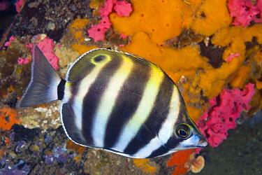 Six-banded Coralfish (Tilodon sexfasciatus), Edithburgh, Yorke Peninsula, South Australia, Australia
