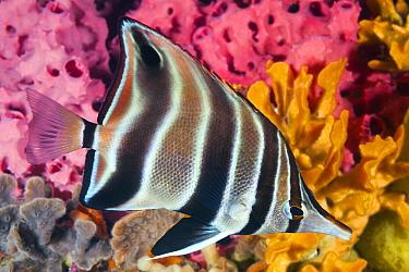 Western Talma (Chelmonops curiosus), Edithburgh, Yorke Peninsula, South Australia, Australia