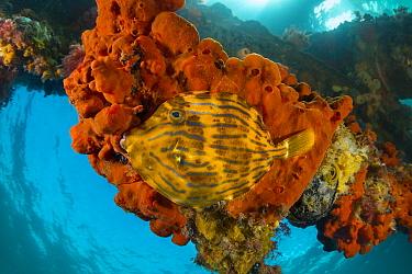 Mosaic Leatherjacket (Eubalichthys mosaicus) amongst sponges attached to pylon, Port Phillip Bay, Mornington Peninsula, Victoria, Australia
