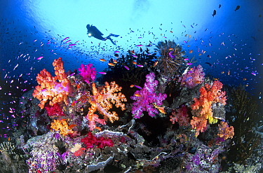 Yellowstripe Anthias (Pseudanthias tuka) school amongst Soft Coral (Dendronephthya sp), Indo-Pacific