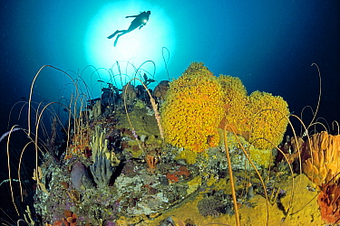 Scuba diver over coral reef with corals, sponges, zoanthids and sea anemones, Bicheno, Tasmania, Australia