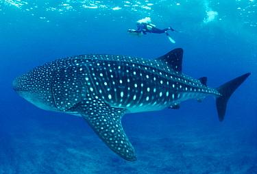 Whale Shark (Rhincodon typus) and scuba diver, Indo-Pacific