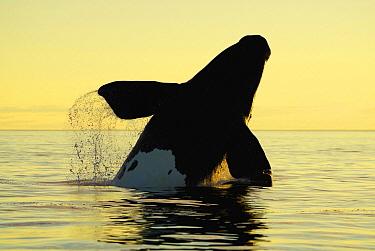 Southern Right Whale (Eubalaena australis) breaching at sunset, Peninsula Valdez, Argentina