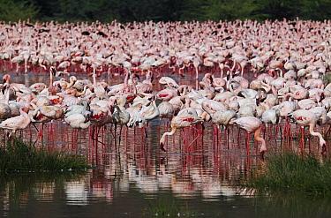 Lesser Flamingo (Phoenicopterus minor) flock, Lake Bogoria, Kenya