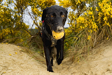Domestic Dog (Canis familiaris) named Hooper, a scent detection dog with Conservation Canines, carrying toy, Oregon Dunes National Recreation Area, Oregon