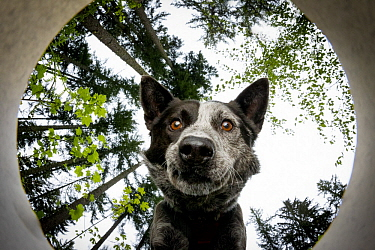 Domestic Dog (Canis familiaris) named Dio, a scent detection dog with Conservation Canines, smelling scent, Pack Forest, Eatonville, Washington
