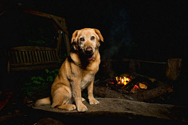 Domestic Dog (Canis familiaris) named Chester, a scent detection dog with Conservation Canines, at campfire, Pack Forest, Eatonville, Washington