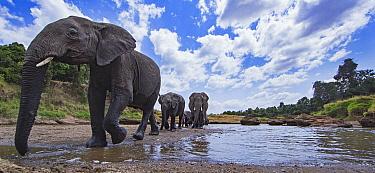 African Elephant (Loxodonta africana) herd on riverbank, Masai Mara, Kenya