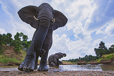 African Elephant (Loxodonta africana) group at river, Masai Mara, Kenya