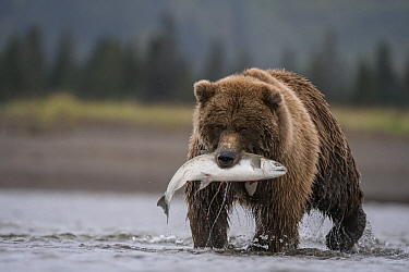 Grizzly Bear (Ursus arctos horribilis) with Coho Salmon (Oncorhynchus kisutch) prey, Lake Clark National Park, Alaska