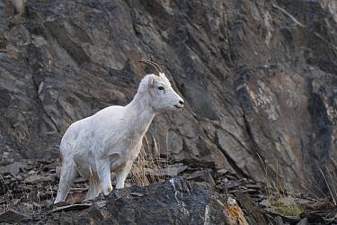 Dall's Sheep (Ovis dalli) female, Anchorage, Alaska