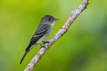 Eastern Wood-Pewee (Contopus virens), Putumayo, Colombia