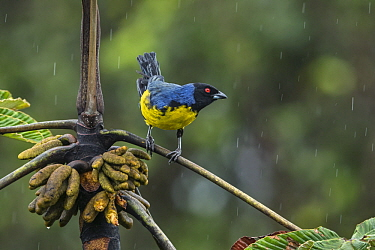 Hooded Mountain-Tanager (Buthraupis montana) during rainfall, Putumayo, Colombia