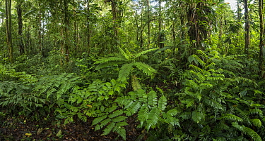 Tree fern in rainforest, Putumayo, Colombia