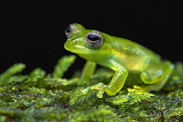 Santa Cecilia Cochran Frog (Cochranella midas), Putumayo, Colombia
