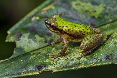 Canelos Robber Frog (Pristimantis acuminatus), Putumayo, Colombia