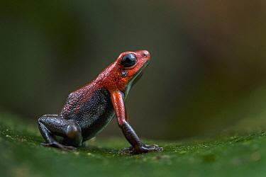 Santander Poison Frog (Andinobates virolinensis), Santander, Colombia