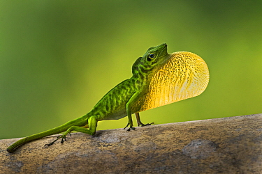 Boulenger's Green Anole (Anolis chloris) male displaying, Tatama National Park, Colombia