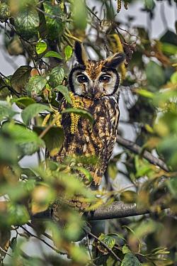 Striped Owl (Asio clamator), Bogota, Colombia