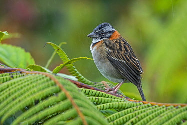 Rufous-collared Sparrow (Zonotrichia capensis), Tatama National Park, Colombia