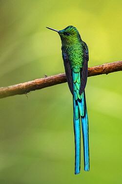 Long-tailed Sylph (Aglaiocercus kingi) hummingbird, Rio Blanco Nature Reserve, Colombia