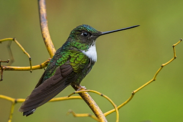Collared Inca (Coeligena torquata) hummingbird, Rio Blanco Nature Reserve, Colombia