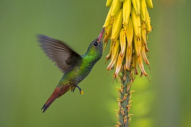 Rufous-tailed Hummingbird (Amazilia tzacatl) feeding on flower nectar, Valle del Cauca, Colombia