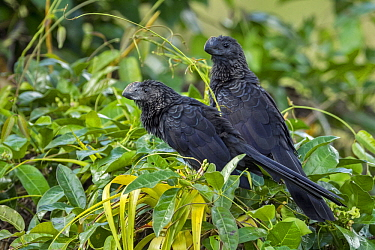 Smooth-billed Ani (Crotophaga ani) pair, Rio Claro Nature Reserve, Colombia