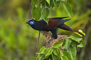 Black Oropendola (Gymnostinops guatimozinus) calling, Rio Claro Nature Reserve, Colombia