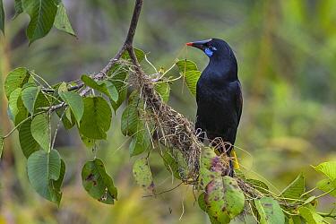 Black Oropendola (Gymnostinops guatimozinus) collecting nest material, Rio Claro Nature Reserve, Colombia