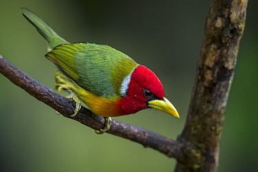 Red-headed Barbet (Eubucco bourcierii) male, Valle del Cauca, Colombia