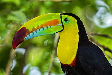 Keel-billed Toucan (Ramphastos sulfuratus), native to Central and South America