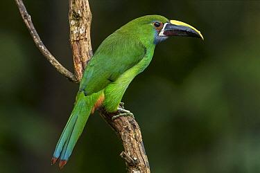 Emerald Toucanet (Aulacorhynchus prasinus), Valle del Cauca, Colombia