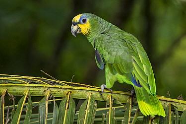 Orange-winged Parrot (Amazona amazonica), Putumayo, Colombia