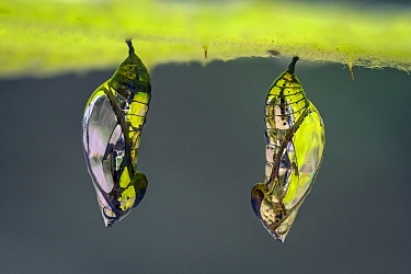 Tigerwing butterfly (Mechanitis sp.), two chrysalis, Ithomiini, Santa Maria, Boyacá,  Colombia