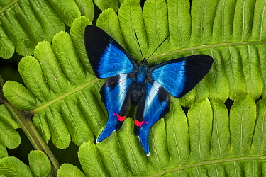 Dyson's Swordtail (Rhetus dysonii) butterfly, Tatama National Park, Colombia