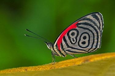 Cramer's Eighty-eight (Diaethria clymena) butterfly, Tatama National Park, Colombia