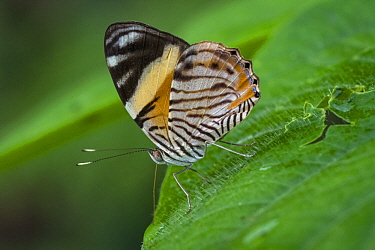 Tiger Beauty (Tigridia acesta) butterfly, Santa Maria, Colombia