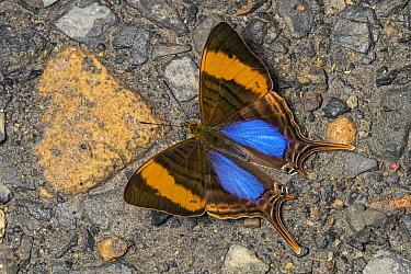 Corinna Daggerwing (Marpesia corinna) butterfly, Santa Maria, Colombia