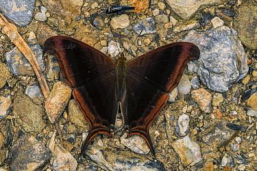 Waiter Butterfly (Marpesia zerynthia), Tatama National Park, Colombia